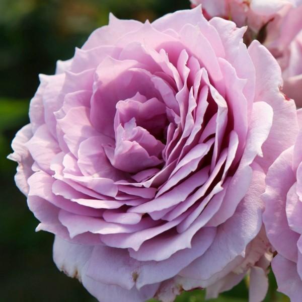 Rose_Novalis_2