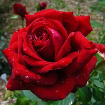 Rose Burgund 81_Hochstamm Rosen_1