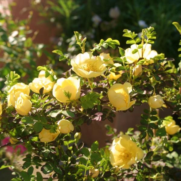 Rose_hugonis_Wildrosen_1