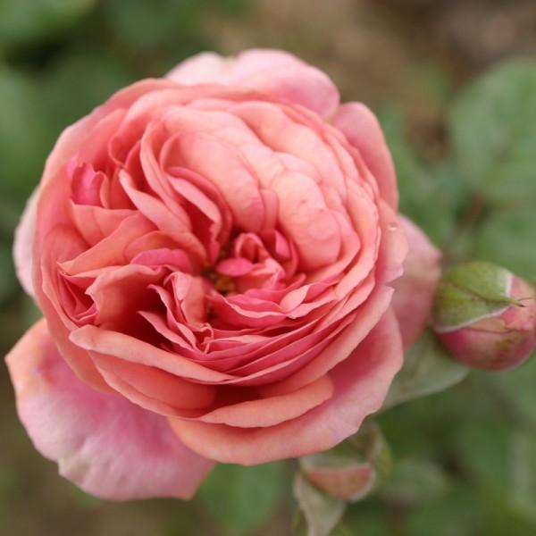 Stefanie´s Rose