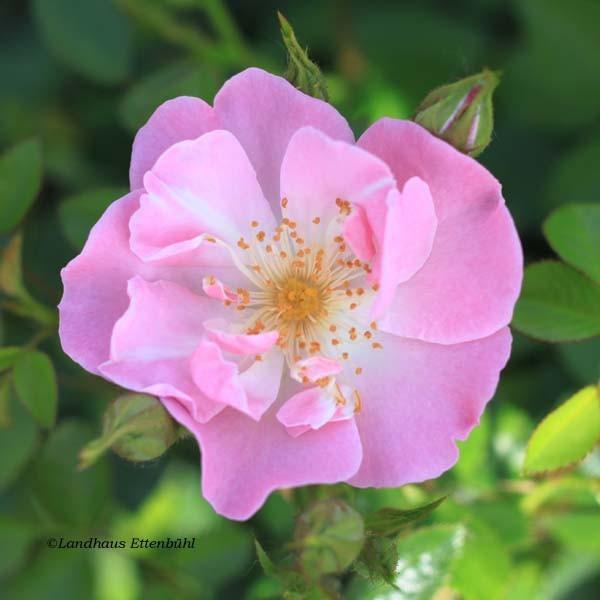 lakeland_rose_11435-1