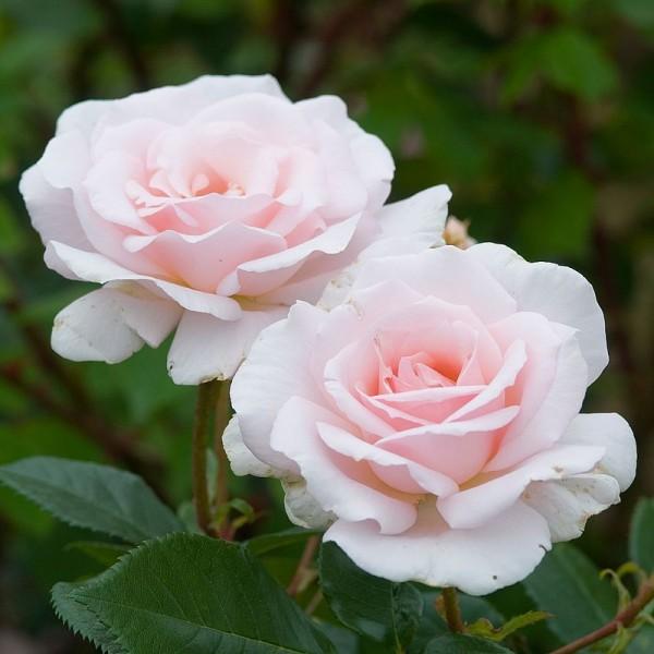 Rose Whiter Shade Pale_Hochstamm Rosen_1