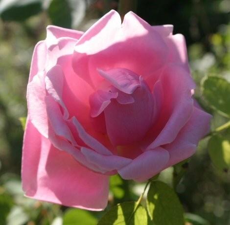 Rose_Mme Caroline Testout_Kletterrosen_1