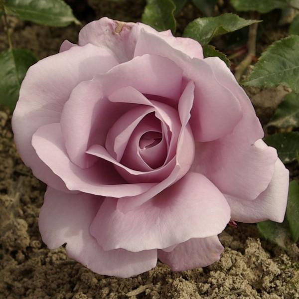 Rose-Synactif-La Rose-de-Petit-Prince-2