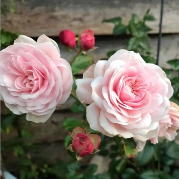 Schultheis Rose Millenium_VS