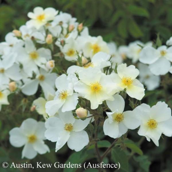 Rose Kew Gardens_Strauchrosen_3