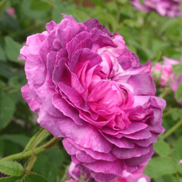 Rose Belle de Crecy_Historische Rosen_Gallica Rosen_1