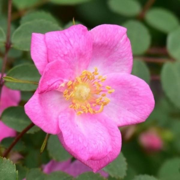 Rosa-Persetosa-Strauchrosen-1