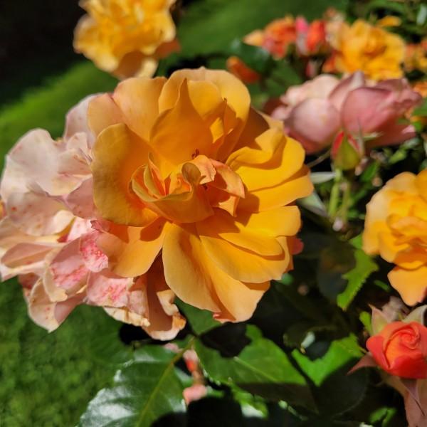 Rose Tequilla_11