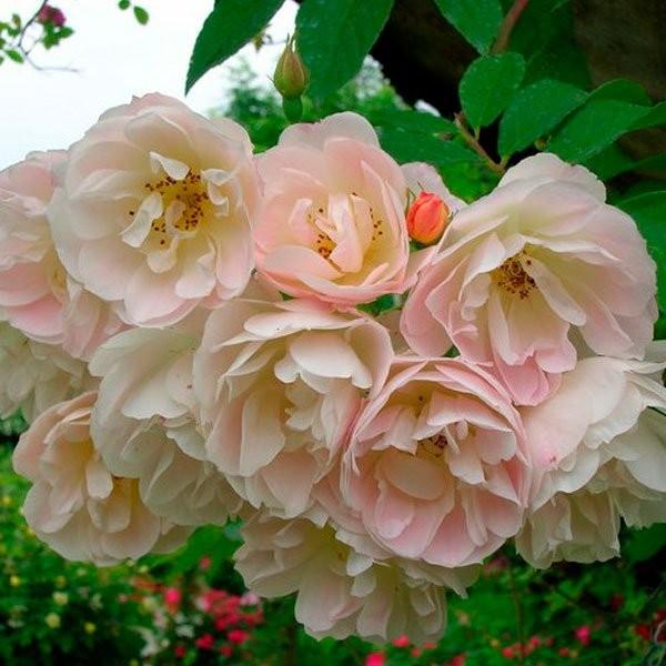 TReasure-trove-rose_novaspina