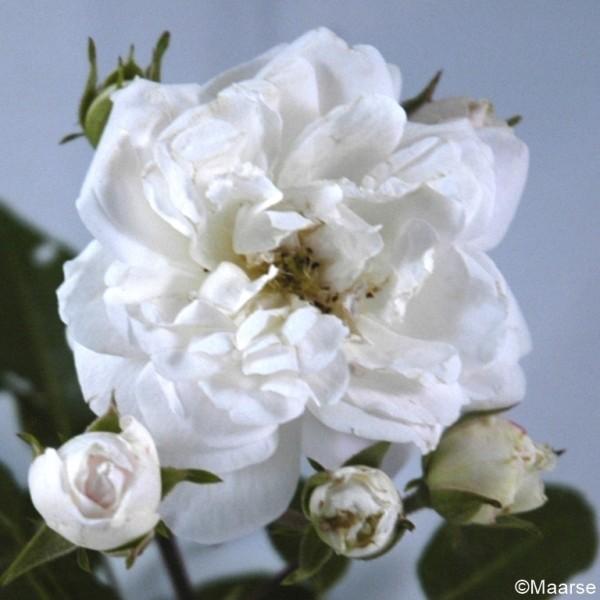 Rose_Dainty White_Strauchrosen_2
