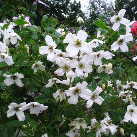 Clematis viticella Kathryn Chapman_1