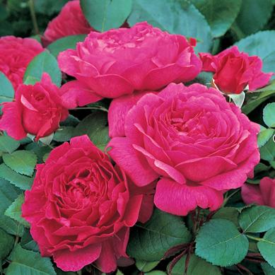 Rose-Noble-Anthony-1