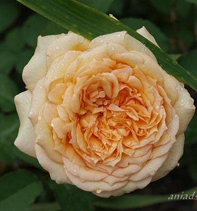 Rose-Sophia-Renaissance-Strauchrosen-1