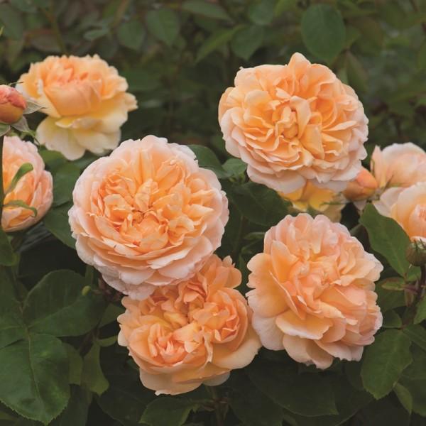 Rose-The-Lady-Gardener-Englische-Rosen-1