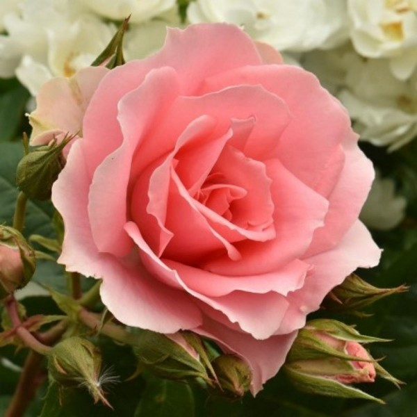 Rose-Youre-Beautiful
