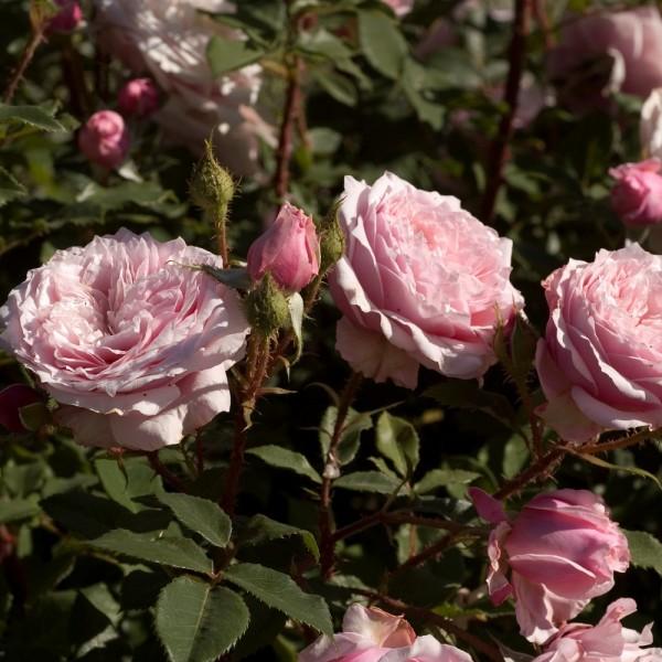 Antique Rose (Scarman)