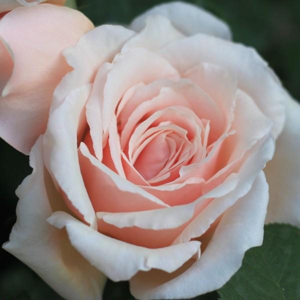 Rose_Lady Sylvia clg_Kletterrosen