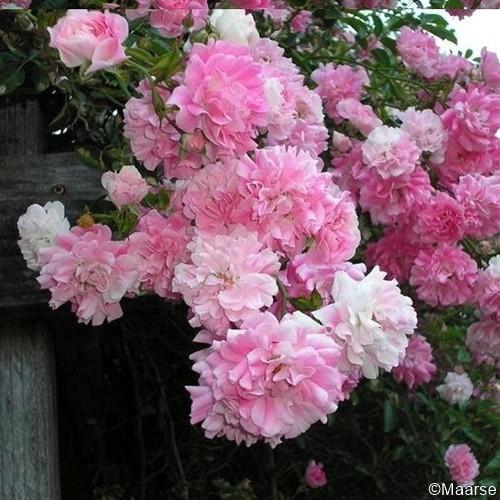 Rose Super Dorothy_1