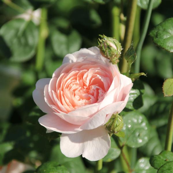 Rose-Souvenir-de-Ettenbühl-strauchrosen-5