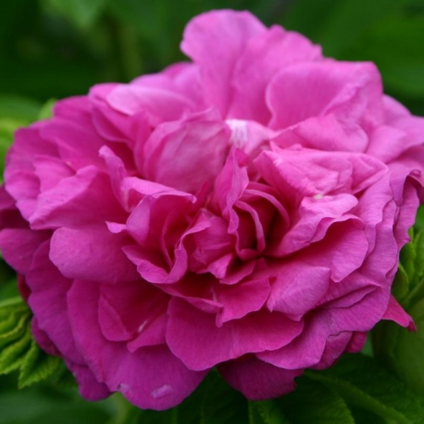 Rose-Purple-Roadrunner-1
