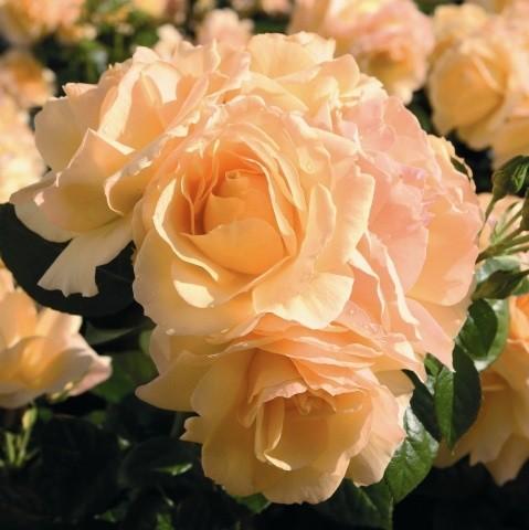 Rose Hansestadt Rostock_Hochstamm Rosen_1