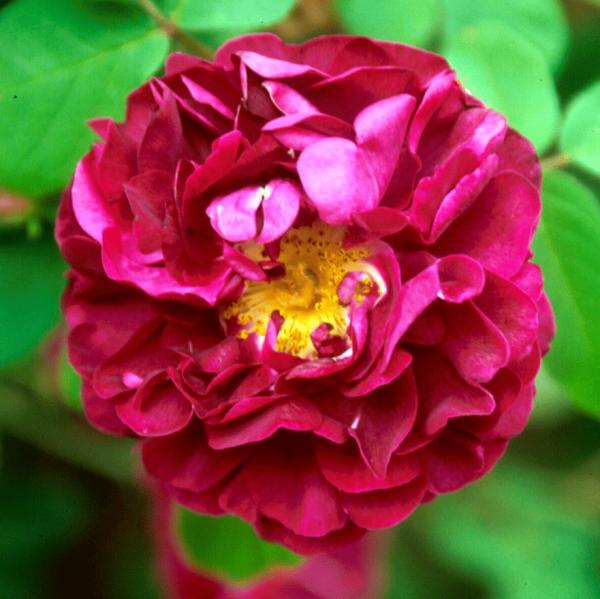 Rose_ Tuscany Superb_gallica rosen_2