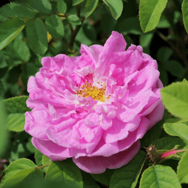 Marie de Blois_moos rosen_1