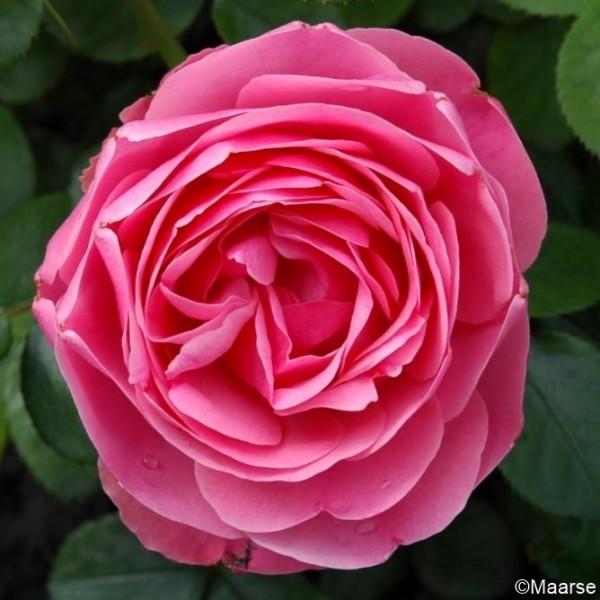 Rose _Leonardo da Vinci_2