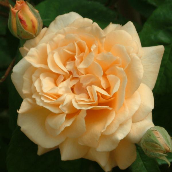 Rose Buff Beauty_Rosa Moschata_1