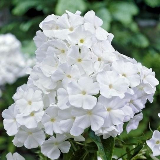Phlox paniculata White Admiral_korr