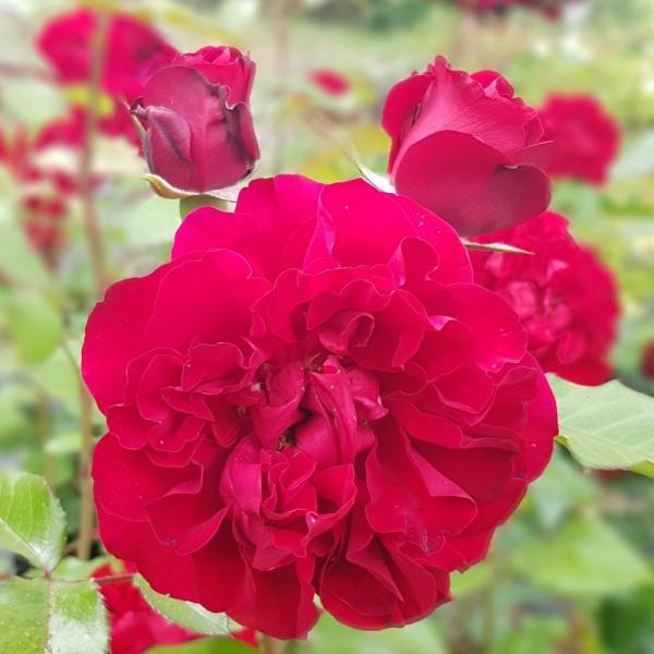 Rose_Oscar Fehr_3