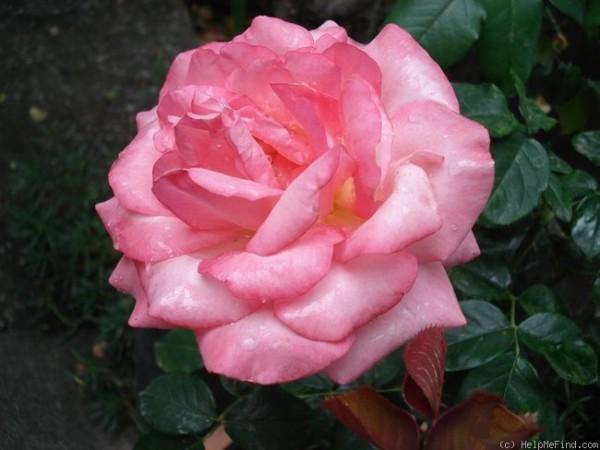 Rose_Lovely Lady_Teerosen_1