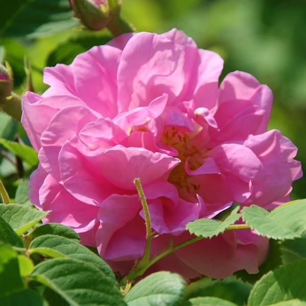Kazanlik / Rosa damascena Trigintipetala