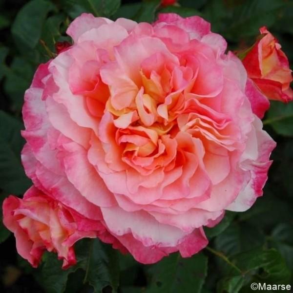 Rose_Augusta Luise_Hochstamm Rosen_1