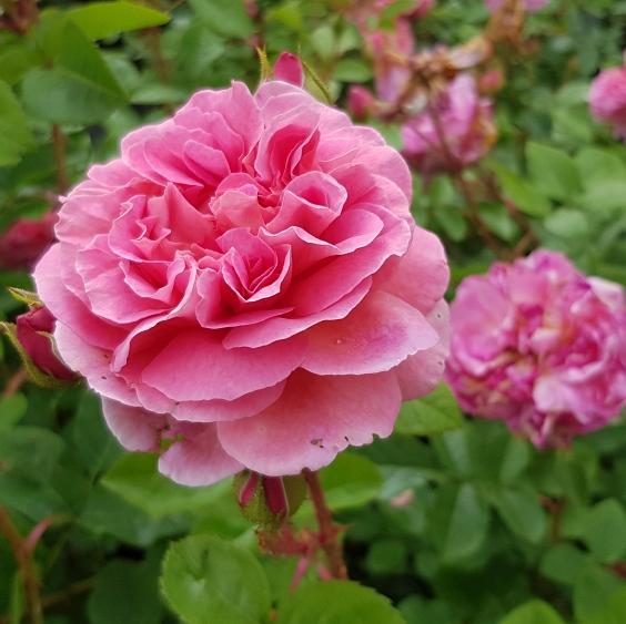 Moderne Rosen