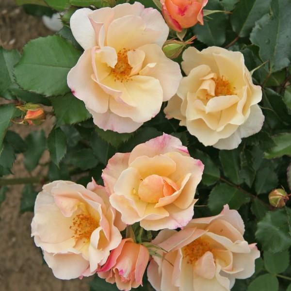 Rose-Saga-Strauchrosen-1
