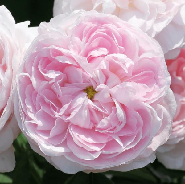 Rose_Duchess de Montebello_gallica rosen_4