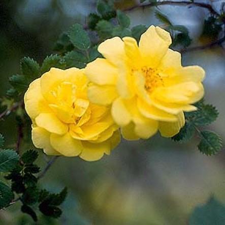 Rose Old Yellow_Wildrosen_1
