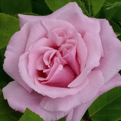 Rose Kathleen Harrop_Strauchrosen_1