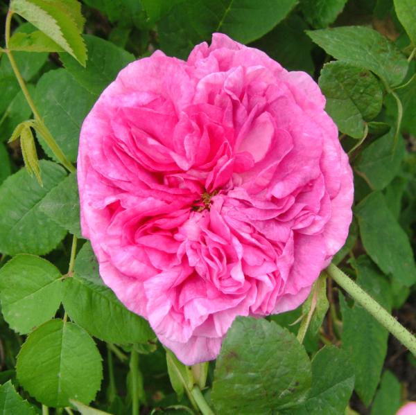 Rose du Maitre d`Ecole_Historische Rosen_Gallica Rosen_2
