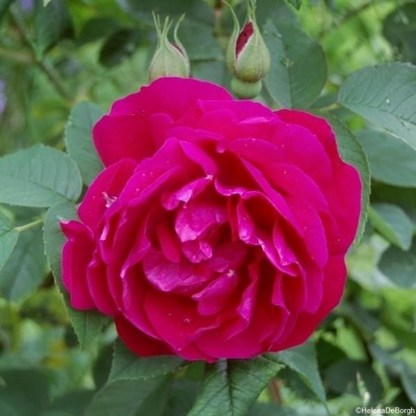 Rose Mrs Anthony Waterer_Rosa Rugosa_1
