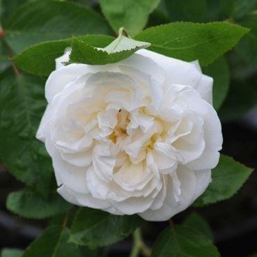 Rose-Winchester-Cathedral-Englische-Rosen-1