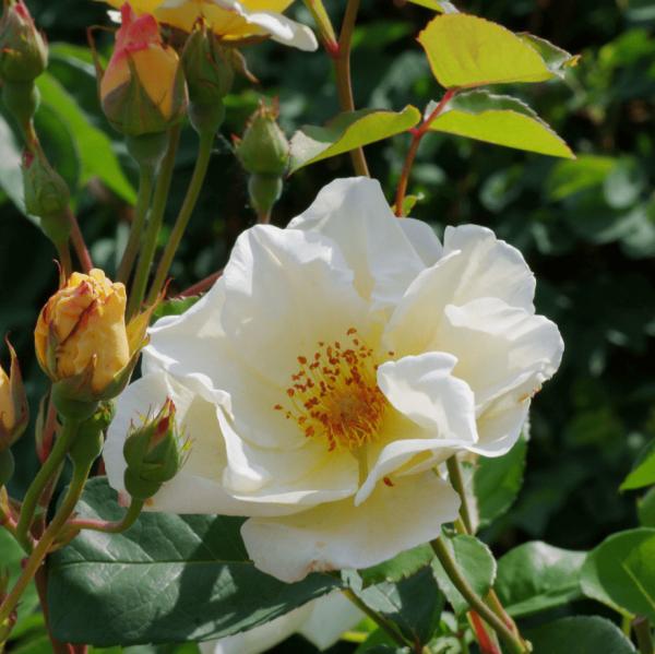 Rose Autumn Delight_Rosa moschata_2