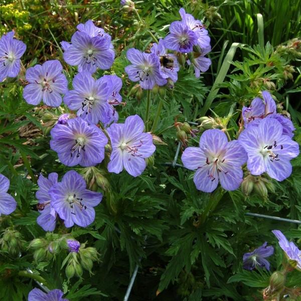 Geranium pratense Mrs Kendall Clark_korr