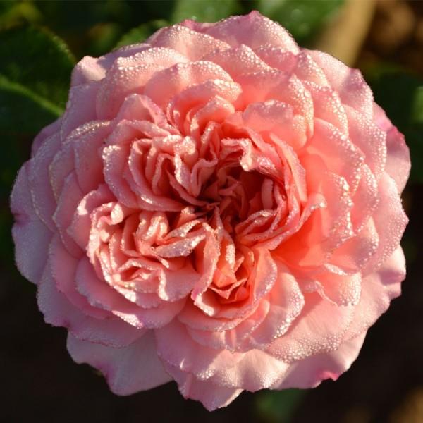 Strauchrosen-Rose-Monique-Bouygues-1