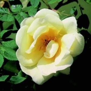 Rose_Frühlingsgold_Strauchrosen_1
