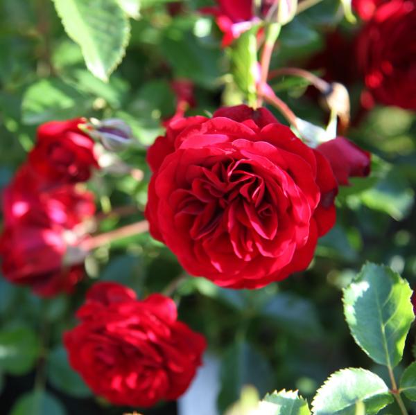 Rose Balmoral Palace_Kleinstrauchrosen_1