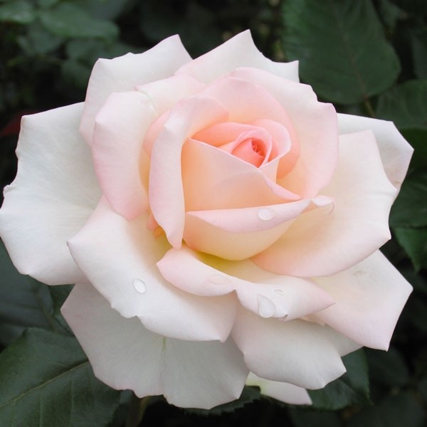 Rose-Bloom-of-Ruth-Edelrosen-1
