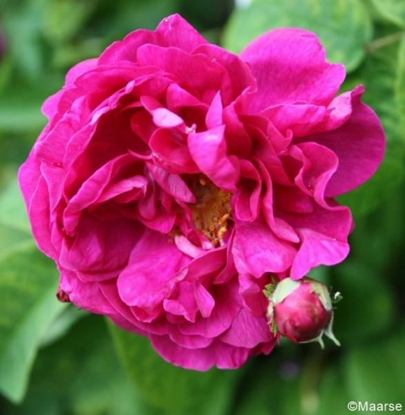 Rose Agatha_Historische Rosen_Gallica Rosen_1